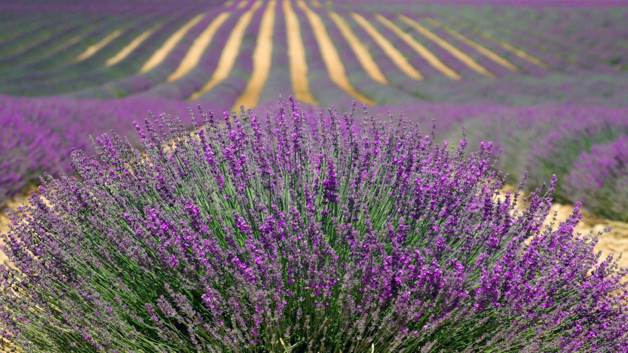 champs de lavendre