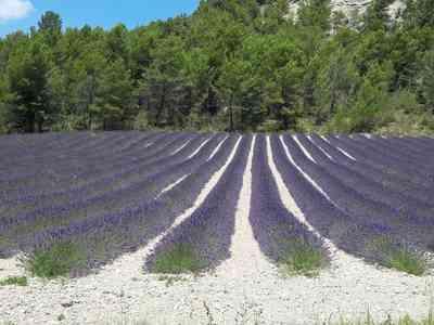 champs de lavande